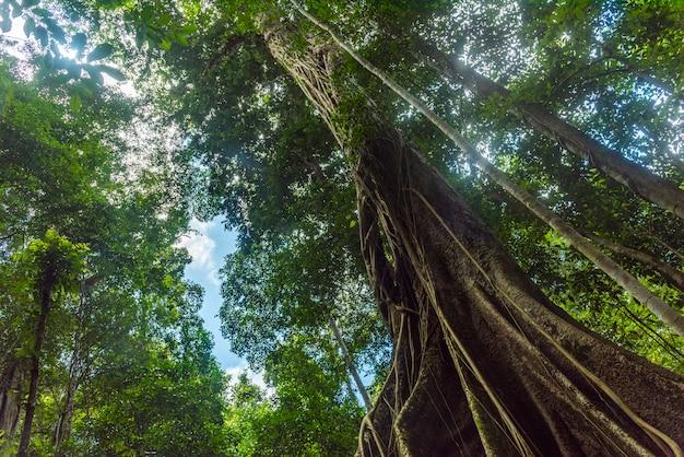 Uma imagem de uma grande árvore em uma floresta tropical que mostra a abundância da floresta.