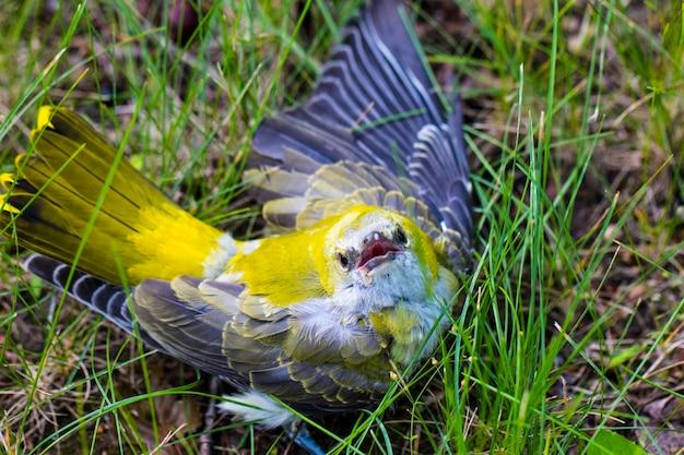 Uma impressionante alvéola-amarela (motacilla flava) sentada na grama.