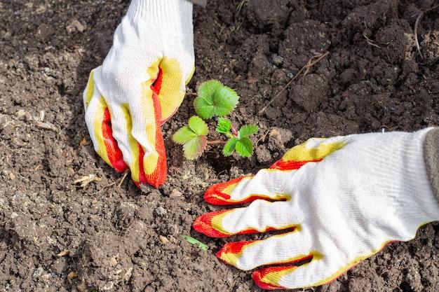 Uma jardineira está plantando morangos no solo