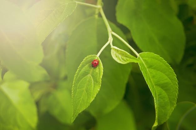 Uma joaninha andando na folha da planta selvagem