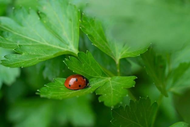 Uma joaninha em fundo verde de caule de salsa uma joaninha rasteja em uma folha de salsa.