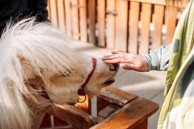 Uma jovem acaricia um pônei no nariz no zoológico através de uma cerca de madeira. o mamífero está na fazenda da família.