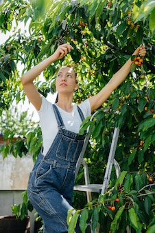 Uma jovem bonita em uma escada de macacão coleta cerejas maduras no jardim em um dia de verão. Foto Premium