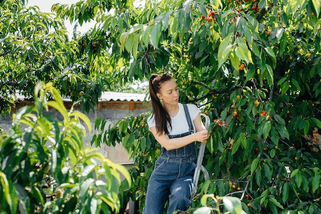 Uma jovem bonita em uma escada de macacão coleta cerejas maduras no jardim em um dia de verão.