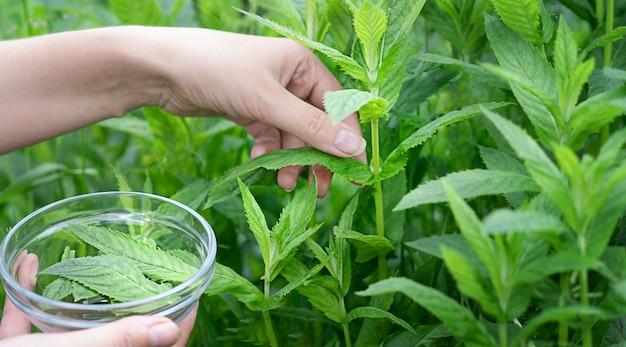 Uma jovem coleta folhas de hortelã-pimenta
