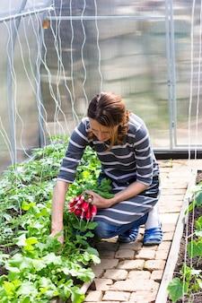 Uma jovem em uma estufa colhe rabanetes maduros