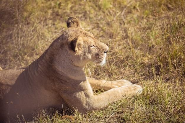 Uma jovem leoa está sentada. uma leoa bonita toma sol no sol.
