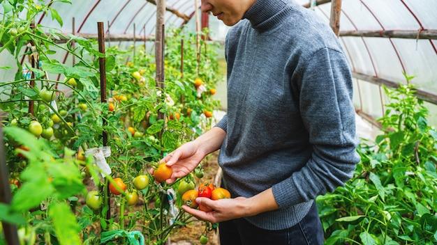 Uma jovem mulher com um suéter cinza recolhe tomates em uma estufa. colheita de legumes conceito