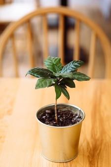 Uma jovem planta de cafeeiro verde em uma panela de ferro fica sobre uma mesa de madeira