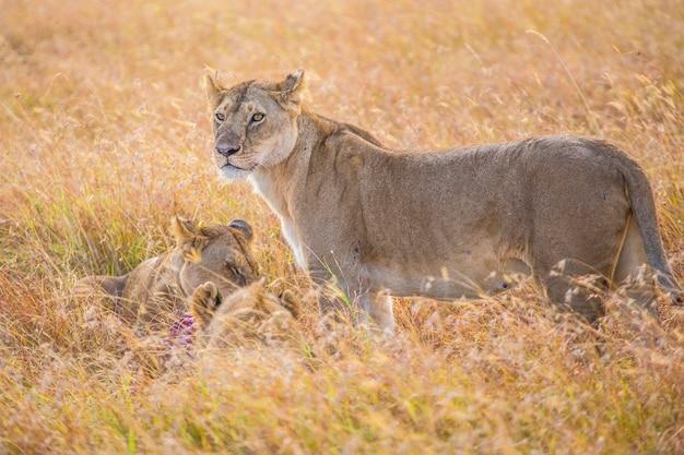 Uma leoa e seus filhos comendo no parque nacional masai mara, animais selvagens na savana. quênia