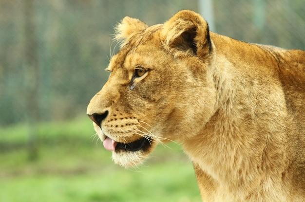 Uma leoa no safari do jardim zoológico
