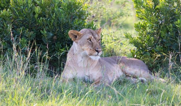 Uma leoa se acomodou na grama e está descansando