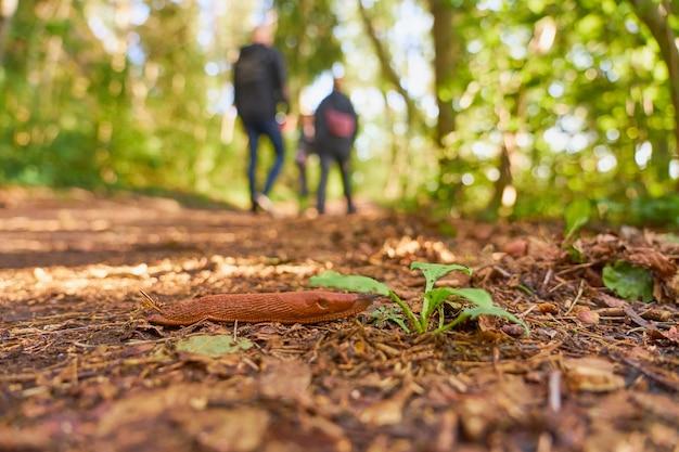 Uma lesma espanhola próxima em um caminho na floresta com pessoas ao fundo.