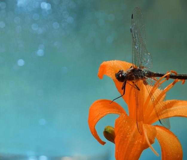 Uma libélula descansando em uma flor de hemerocallis laranja contra um céu azul com respingos de água ou gotas de chuva, foto macro