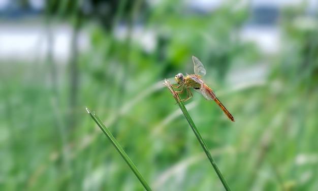 Uma libélula laranja sentada em uma folha de lâmina selvagem na frente de um fundo borrado verde brilhante