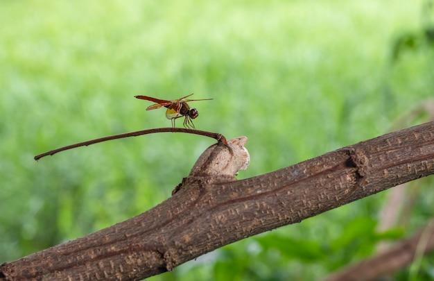 Uma libélula vermelha descansando em um tronco de árvore morta em frente a um gramado verde