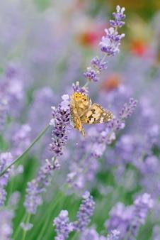 Uma linda borboleta bebe néctar em uma flor de lavanda em um campo de lavanda
