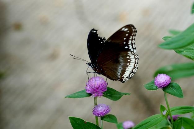 Uma linda borboleta em uma flor de amaranto globo no jardim