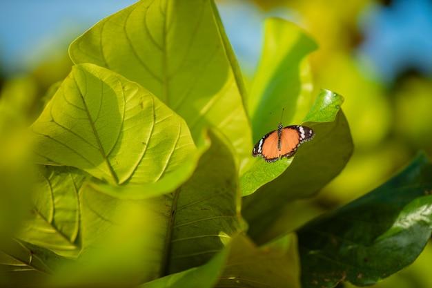 Uma linda borboleta laranja com manchas brancas e listras pretas fica em folhas verdes