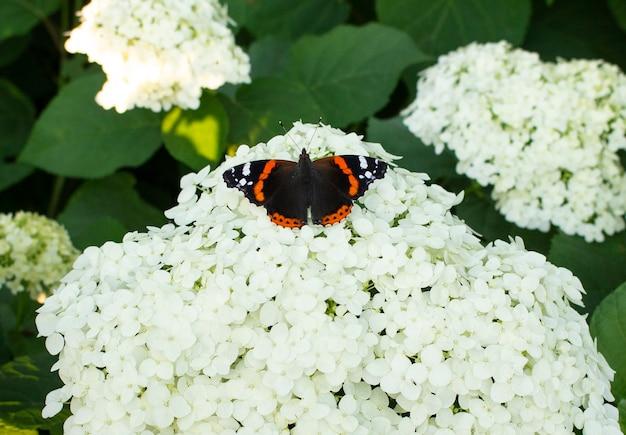 Uma linda borboleta multicolorida senta-se em uma flor de hortênsia branca que floresce. eles crescem no jardim.