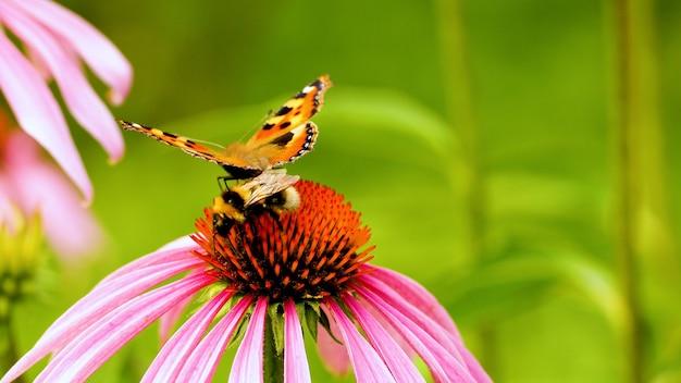 Uma linda borboleta vanessa cardui juntamente com uma abelha sentar na flor echinacea. polinização de um close-up de flor.