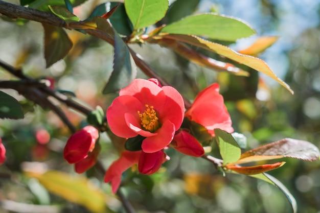 Uma linda flor vermelha em um galho de árvore na primavera