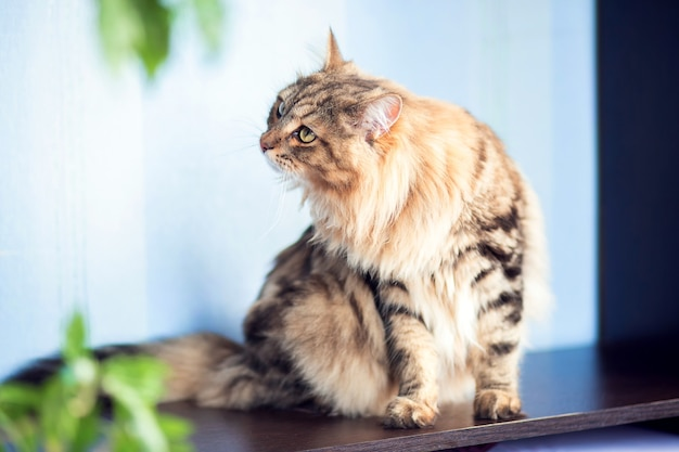 Uma linda gata fofa da raça siberiana sentada em um apartamento sobre a mesa