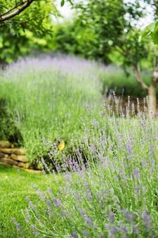 Uma linda lavanda em flor cresce em um jardim de uma mansão particular