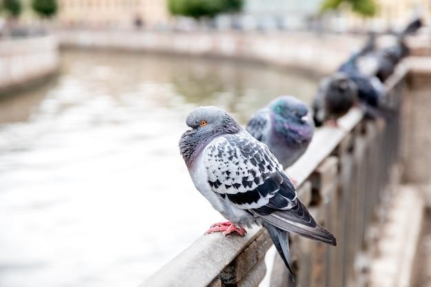 Uma linda pomba cinza está sentada, cercada por outras pombas.