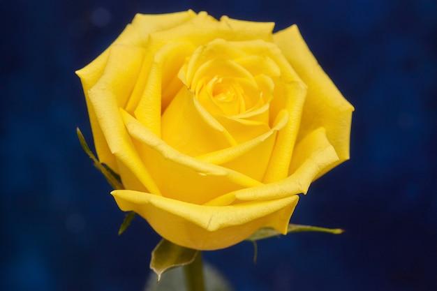 Uma linda rosa amarela na superfície azul