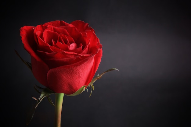 Uma linda rosa vermelha