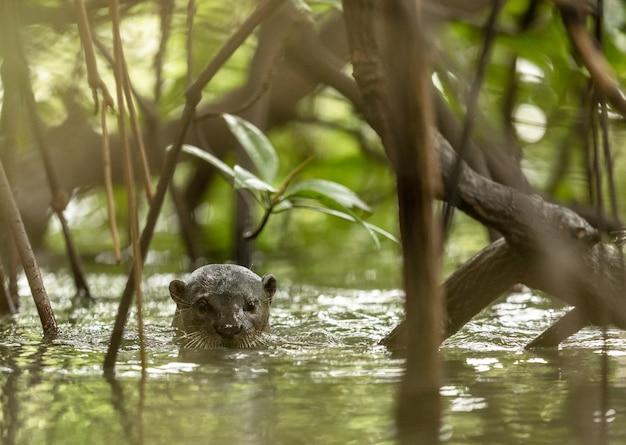 Uma lontra revestida lisa selvagem, lutra perspicillata, entre as árvores de mangue.