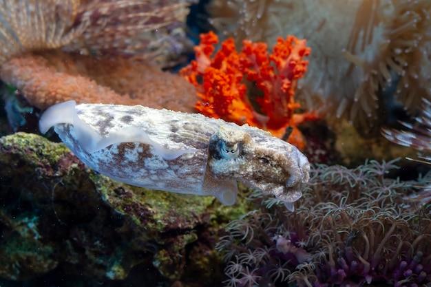 Uma lula closeup o coral uma camuflagem de lula atrás do coral