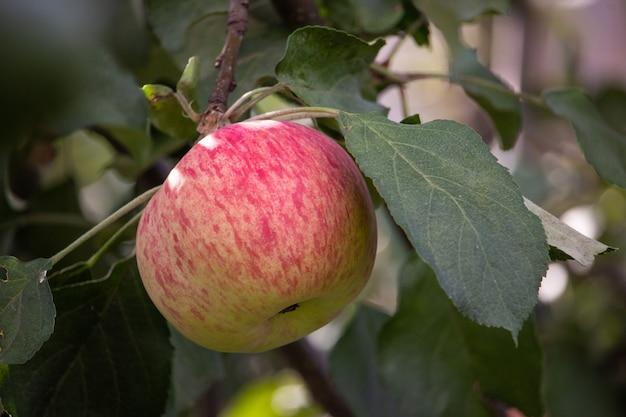 Uma maçã madura e suculenta em um galho. frutas saudáveis da fazenda na temporada de colheita da maçã