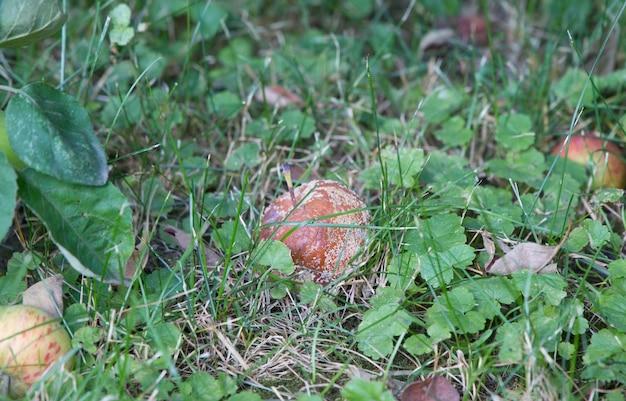 Uma maçã podre na grama verde