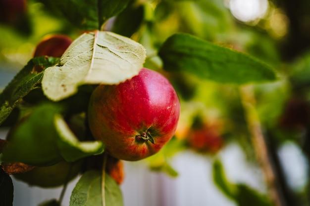 Uma maçã verde e podre em um galho. foto de alta qualidade