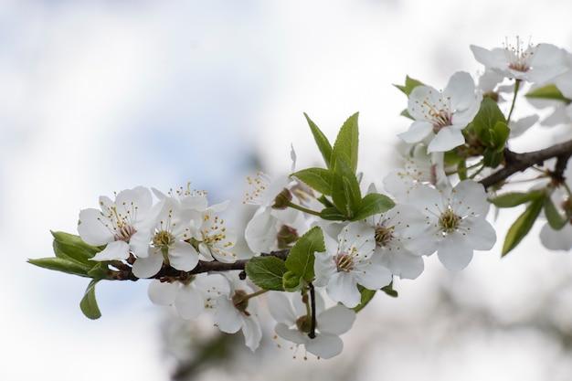 Uma macieira envelhecida, flores em um jardim