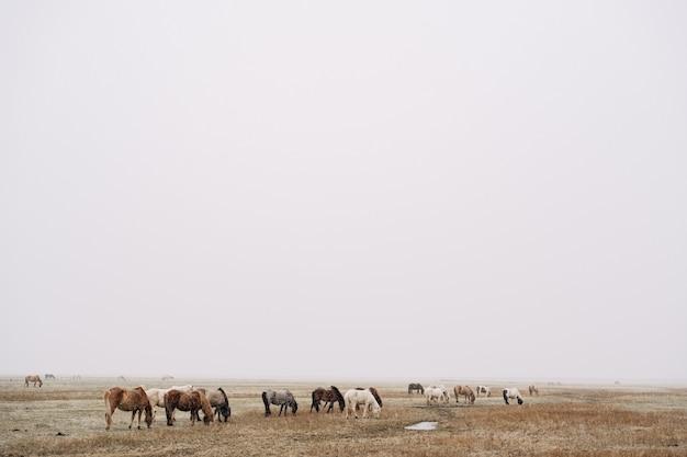 Uma manada de cavalos está caminhando pelo campo e comendo grama. está nevando com pouca visibilidade devido a