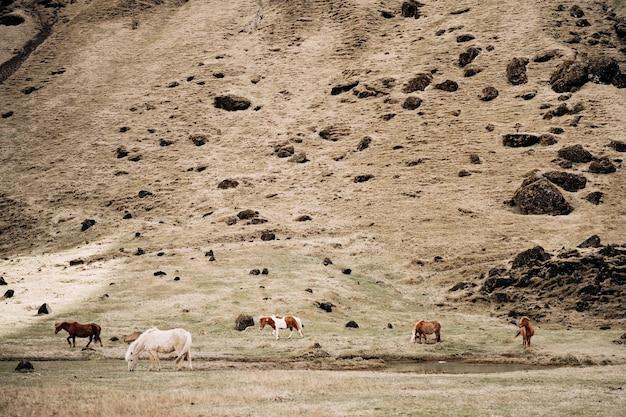 Uma manada de cavalos pastando no fundo de uma montanha rochosa, o cavalo islandês é uma raça de cavalo