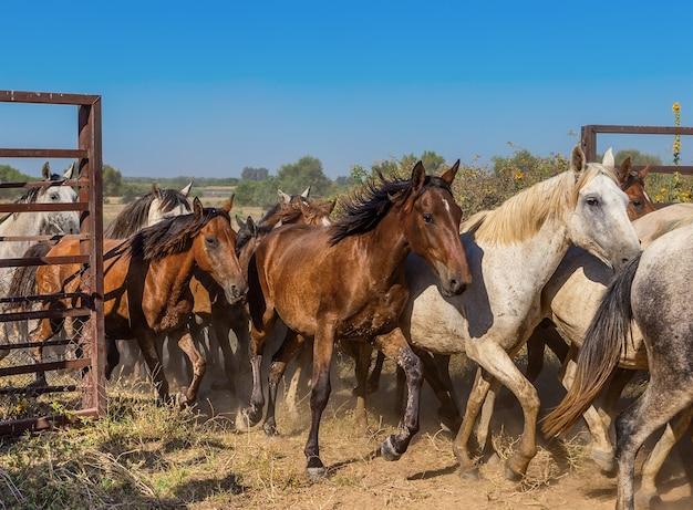 Uma manada de cavalos sai correndo do curral. o movimento do portão aberto.