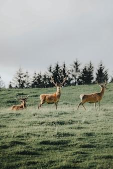 Uma manada de cervos em um campo