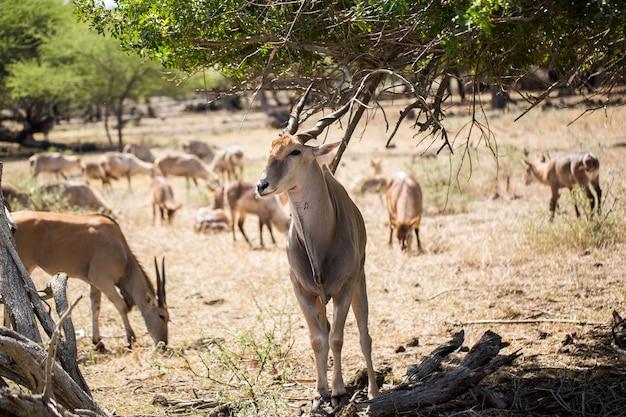 Uma manada de veados africanos na selva. maurício.