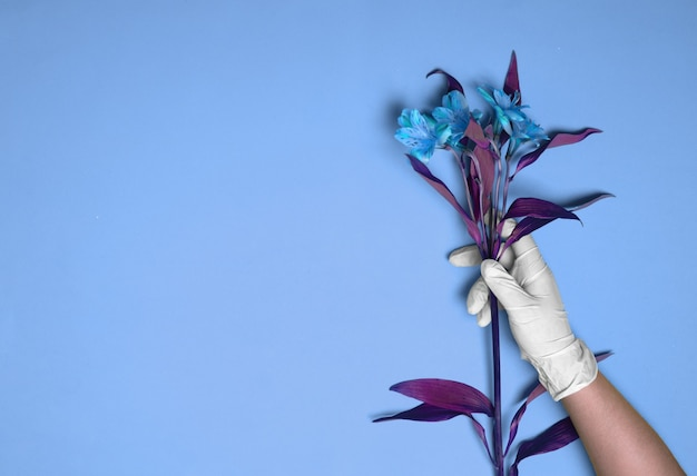 Uma mão com luva de borracha segura alstroemeria contra um fundo azul
