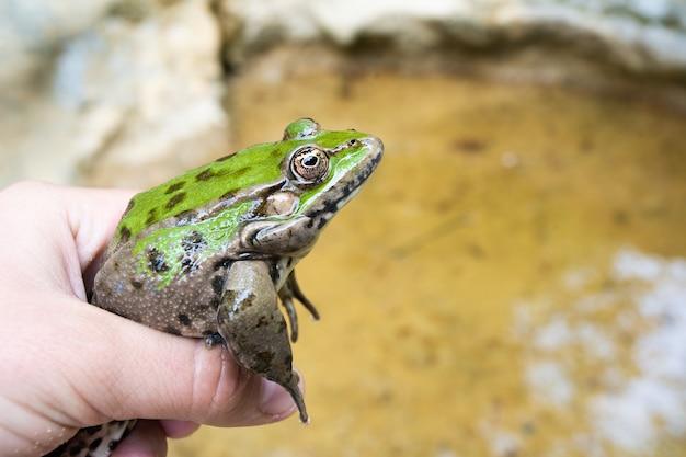 Uma mão humana segura um grande sapo na superfície de um pântano
