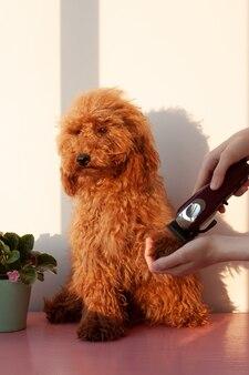 Uma mão segura uma máquina de tosquiar para cães e uma pata de poodle marrom-avermelhada