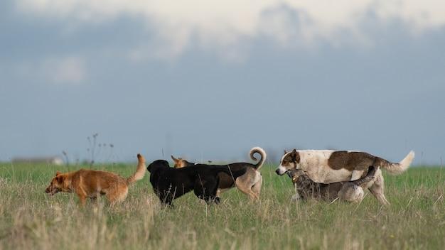 Uma matilha de cães vadios no campo.