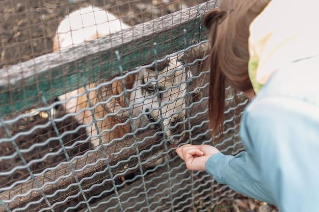 Uma menina alimenta uma ovelha branca com maçãs por meio de uma rede em uma gaiola. o mamífero está no zoológico.