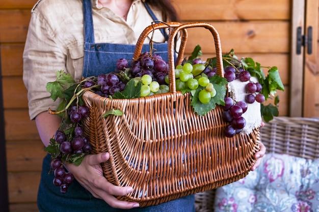 Uma menina com uma cesta colhe vinhedos, coleta uvas selecionadas na itália para uma grande colheita de outono. alimentos biológicos, orgânicos e bons vinhos artesanais.