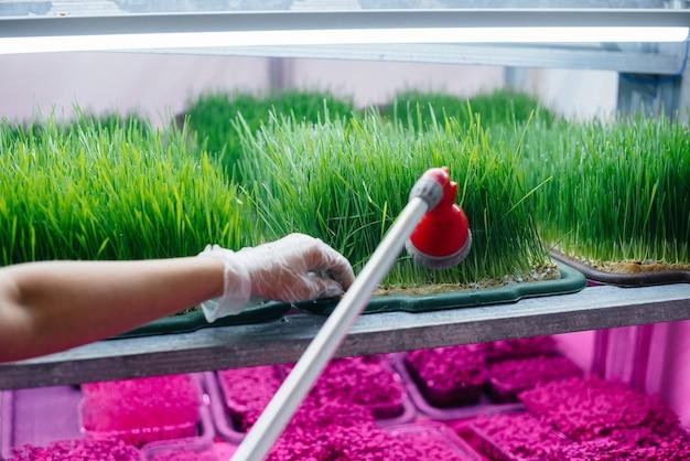 Uma menina está regando o close-up de micro brotos verdes em uma estufa moderna. dieta saudável.