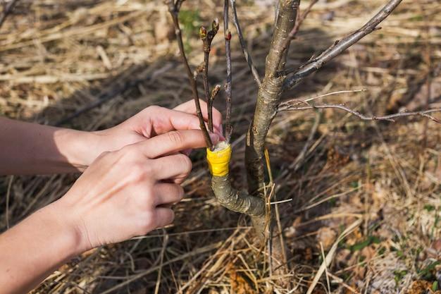 Uma menina faz um enxerto de maçã selvagem no início da primavera